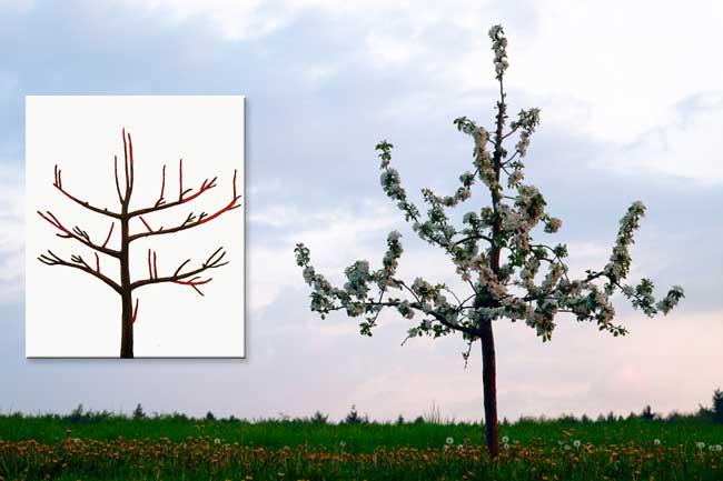 схема обрезки яблонь в начале плодоношения