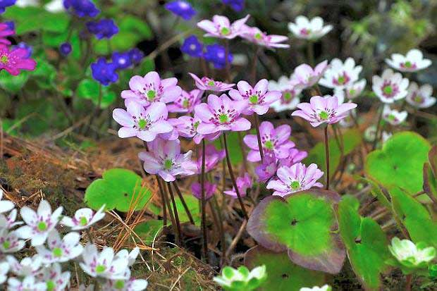 hepatica_nobilis_mix.jpg