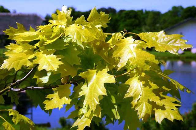 Quercus_rubra_Aurea-002.jpg