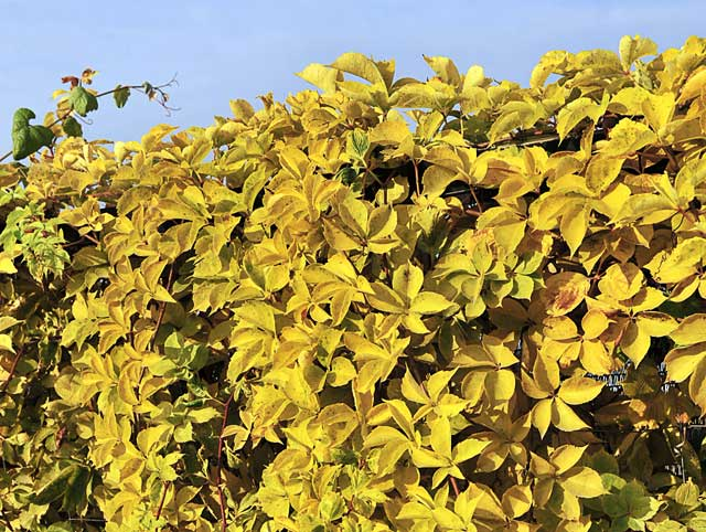 Parthenocissus-Yellow-Wall--002.jpg