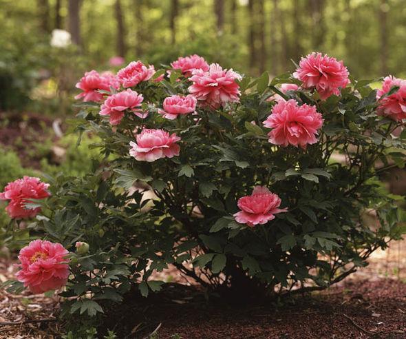 Tree-peony-pink-514444.jpg